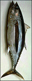A picture of a tuna